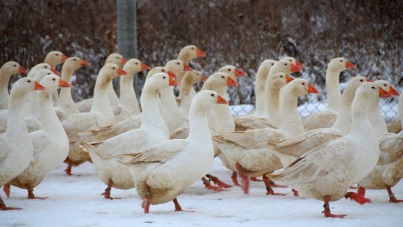 Адлерские гуси