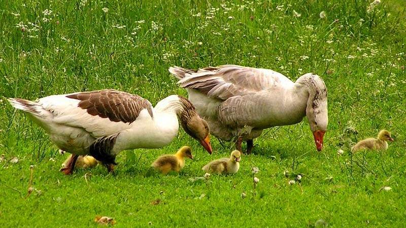 Виштинес порода гусей