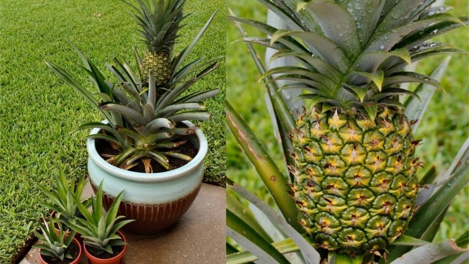 Выращивание ананаса дома
