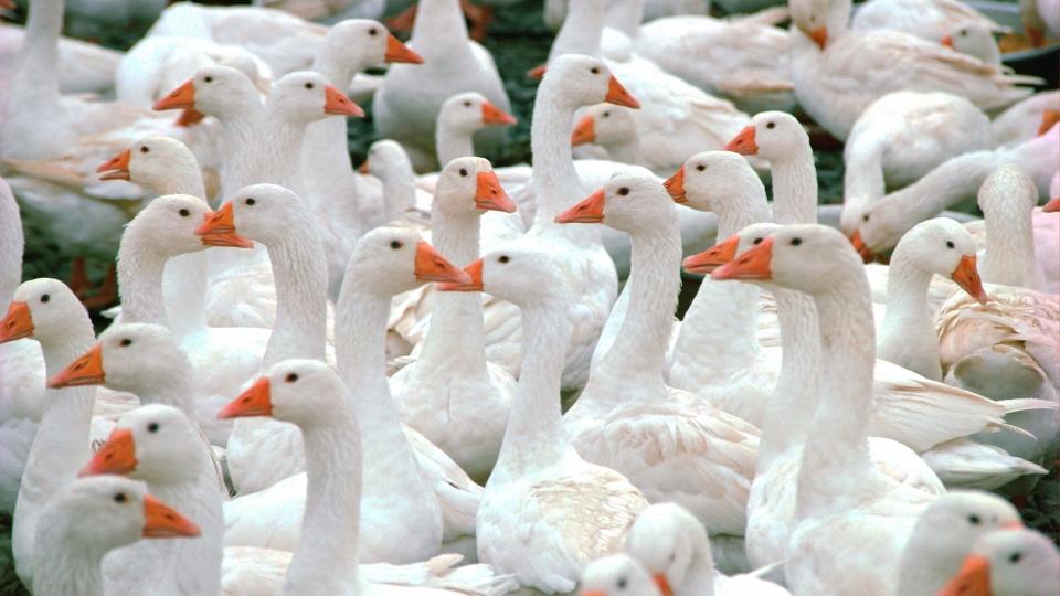 Горьковская порода гусей
