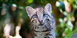 Оцелот домашний леопард