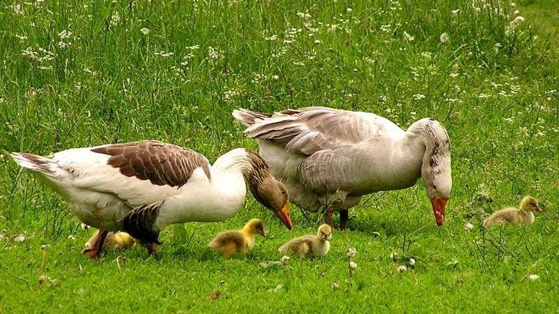 Пастбищное содержание гусей