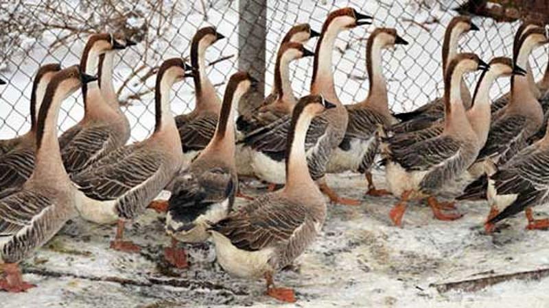 Переяславские гуси