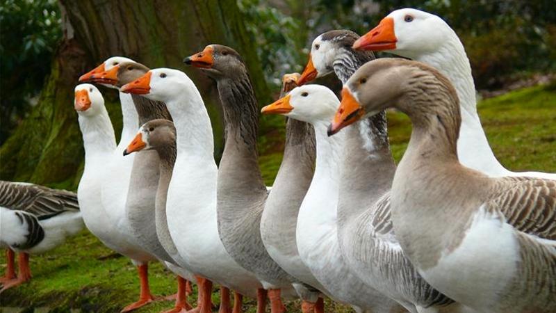Породы гусей — богатство выбора
