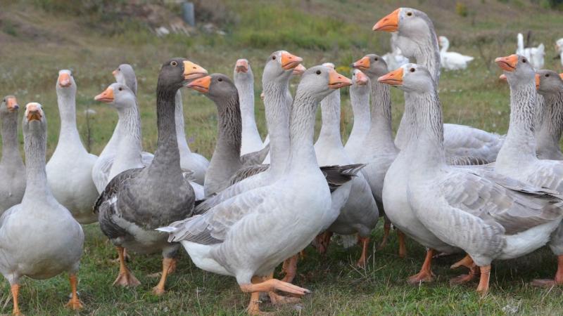 Псковские лысые гуси
