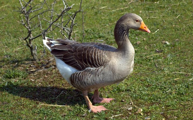 Шадринская порода гусей (Уральские)