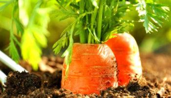 Морковь и ее вредители