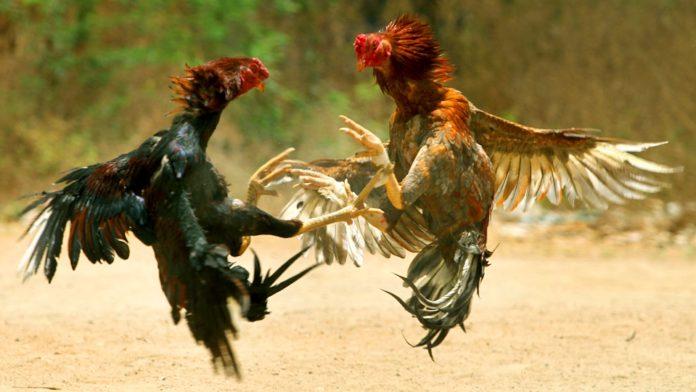 Бойцовые петухи - куриные войны