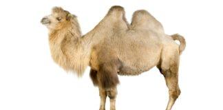 Верблюдоводство