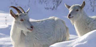 Зимнее содержание коз