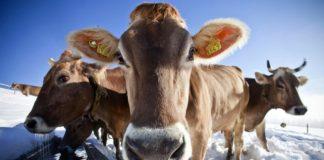 Зимнее содержание коров
