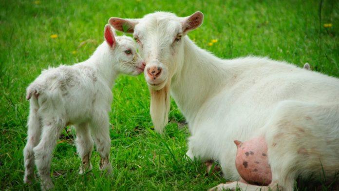 Коза случка беременность окот