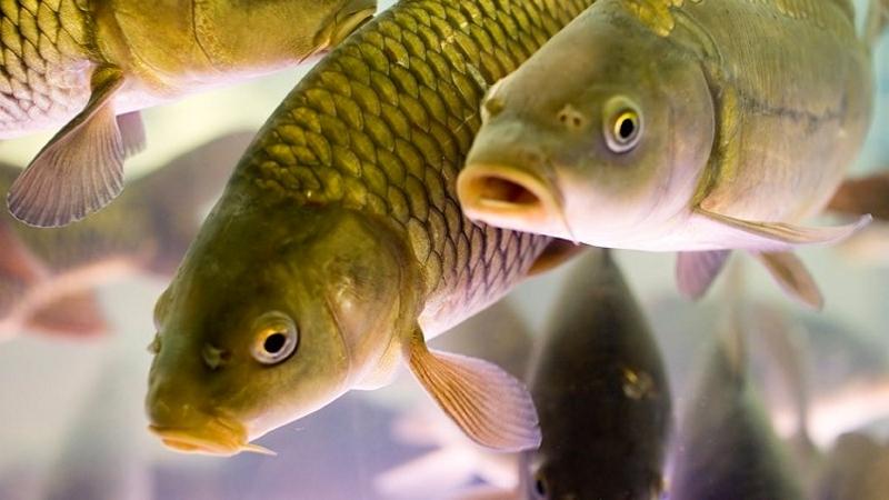 Рыбоводство – непросто, но выгодно