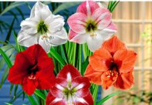 Амариллис - комнатная лилия