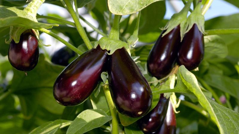 Баклажан — рассада и выращивание