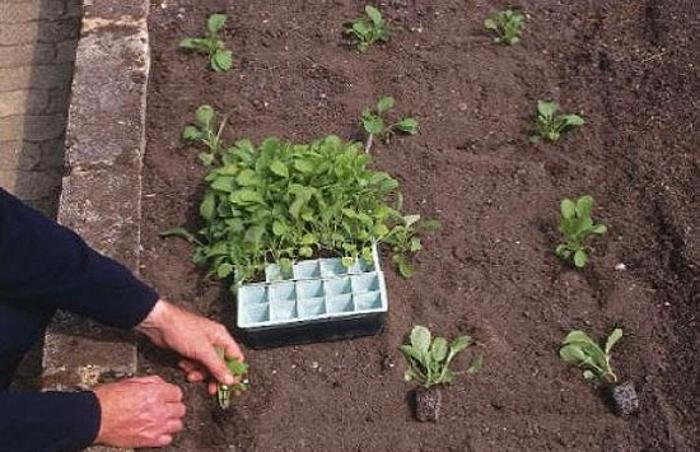 как правильно сажать семена дыни на рассаду