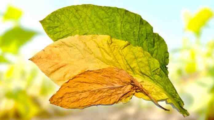 Выращивание табака на участке