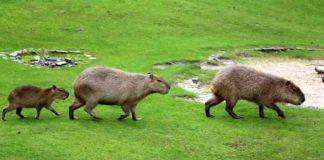 Гигантская морская свинка - Капибара