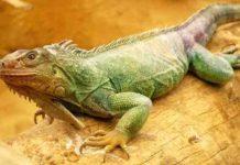 Ручной дракон - Игуана