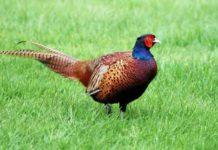 Фазан в птичьем дворе - красота и польза