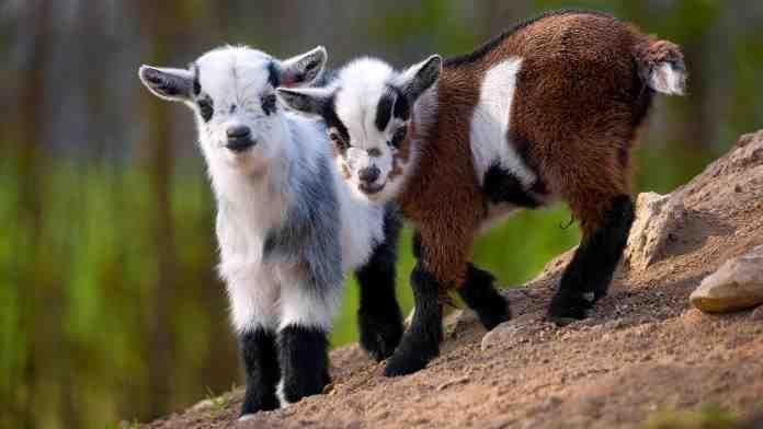 мини козы - карликовые козы