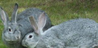 Самые популярные мясные породы кроликов