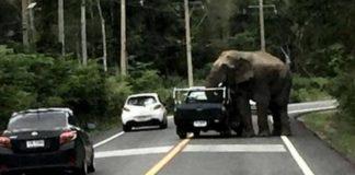 Банда слонов в Таиланде начала грабить грузовики с фруктами
