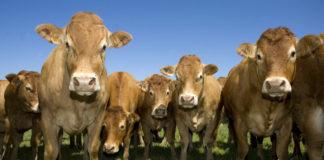 Вспомогательные репродуктивные технологии в воспроизводстве крупного рогатого скота: реальность и возможности