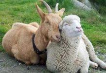Главный приз конкурса красоты среди овец выиграли животные из Алтайского края
