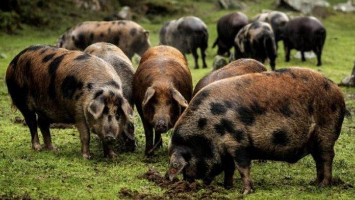 Ради самого дорогого в мире хамона свиней выращивают в «курортных» условиях