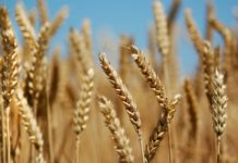 Цены на зерно возобновили рост