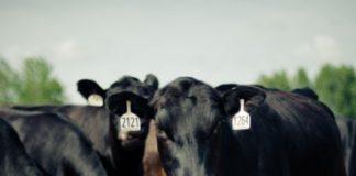 Абердин-ангусская порода коров: описание и характеристики