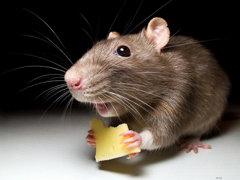 Борьба с мышами в частном доме или на дачном участке