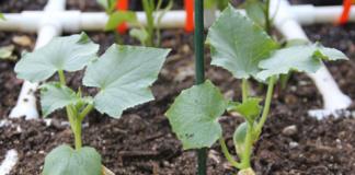 Выращиваем огурцы в открытом грунте правильно: тонкости процесса