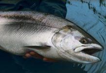 Инфекционная анемия лосося в Норвегии