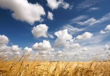 На Юге России рассчитывают собрать неплохой урожай зерновых