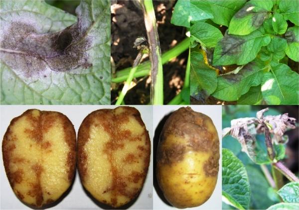 Эффективная борьба с фитофторой и другими заболеваниями картофеля