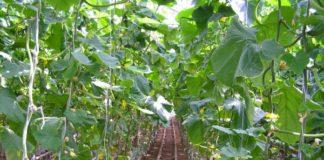 Эффективное выращивание огурцов в теплице и борьба с пожелтением