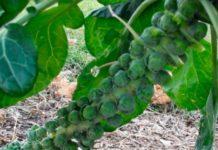 Брюссельская капуста - каковы особенности её выращивания и ухода?