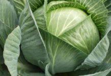 Выращивание капусты: посадка и уход на открытом грунте