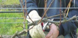 Особенности обрезки виноградных кустов осенью, летом, весной