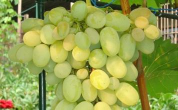 Сорта винограда от Изабеллы и Аркадии до Талисмана и Кишмиша лучистого