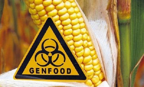 ГМ-кукуруза преодолевает границы