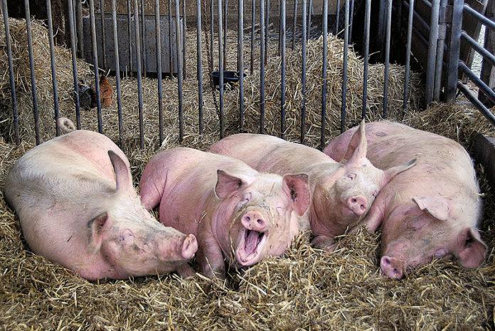 Аграрии юга не захотели менять свиней на коз и кроликов