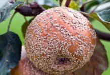 Болезни яблонь и способы борьбы с ними