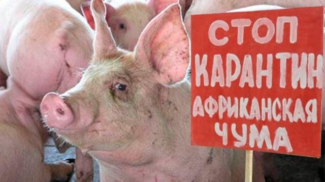 В Омской области зафиксирован новый очаг африканской чумы свиней.