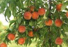 Персик: от посадки до сбора урожая