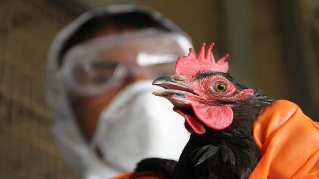 Татарстану угрожает птичий грипп, чума свиней и нодулярный дерматит