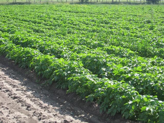 Институт агроинженерных и экологических проблем продолжит изучать технологии производства органического картофеля