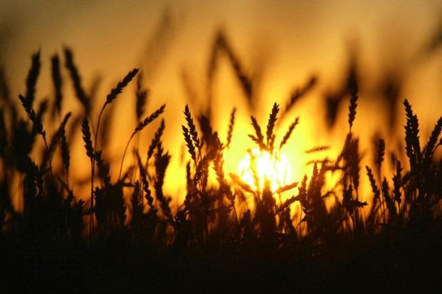 Состояние посевов озимой пшеницы в США ухудшилось